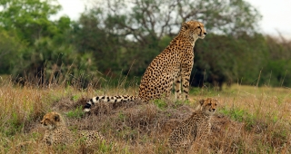 A female cheetah with her two cubs (Image: Charles Sharp.)